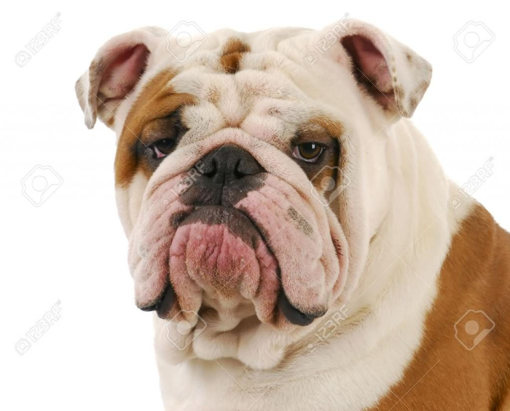 White-And-Fawn-Bulldog-Face-Picture[1].jpg