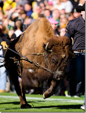 Ralphie V takes the field with his handlers. The No. 2 Oregon Ducks play the Colorado Buffaloes at Folsom Field in Boulder, Co. on Oct. 5, 2013. (Michael Arellano/Emerald)