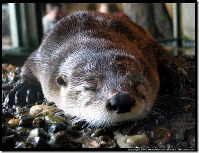 henri-the-otter-of-ennu