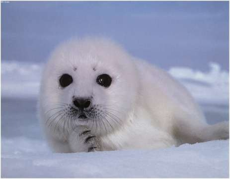 Baby Seals Mgoblog