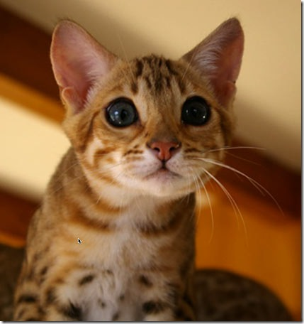 bengal-kitten3