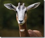 Mhorr-s-Gazelle[1]