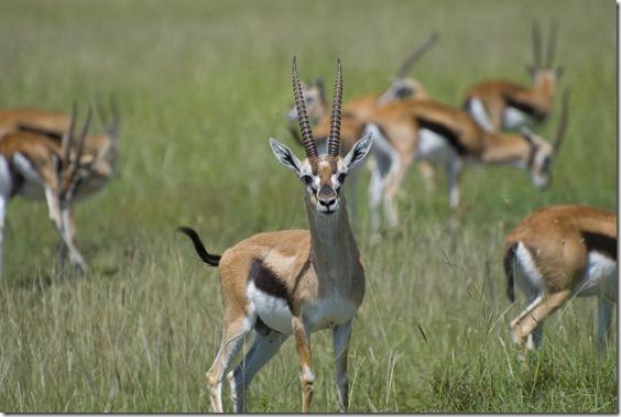 Thompson%27s_gazelles,_Masai_Mara,_Kenya[1]