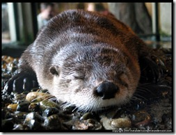aquarium-otter-sleeping-large