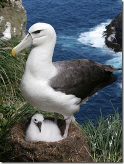 White-capped%20Albatross%20nest%20byDavid%20Thompson[1]
