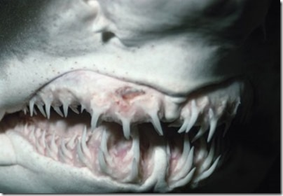 shark-teeth-1[1]