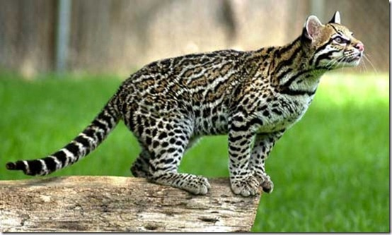 ocelot-identification-01[1]
