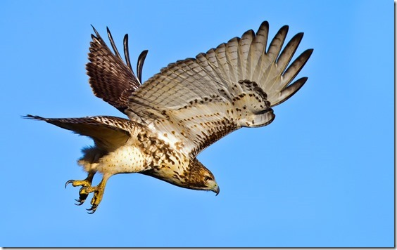 red_tailed_hawk_1[1]