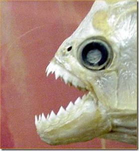 piranha-vs-mouse